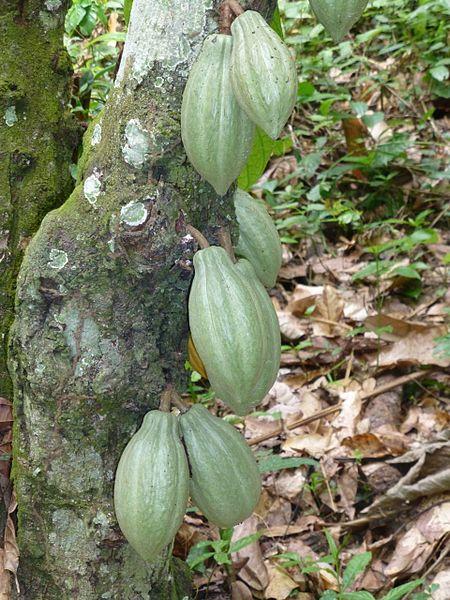 Cabosses sur le tronc d'un cacaoyer